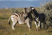 Burchell's zebra fighting (Equus burchellii), Etosha National Park, Namibia