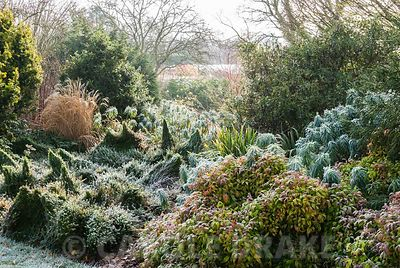 Frosted border in the Winter Garden includes Nandina domestica 'Wood's Dwarf', Euonymus fortunei 'Minimus', euphorbias and ga...
