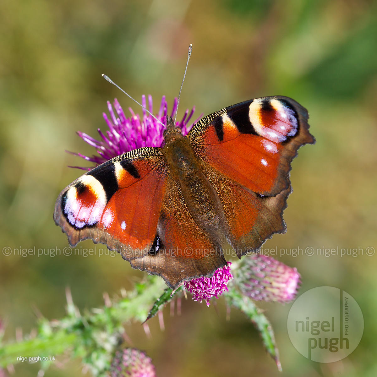 shaggy peacock butterfly: