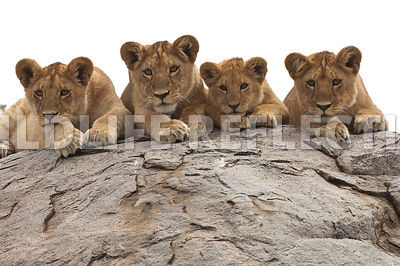 lion_cubs_kopje_row_four_19