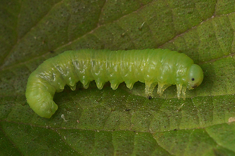 Symphyta species , caterpillar