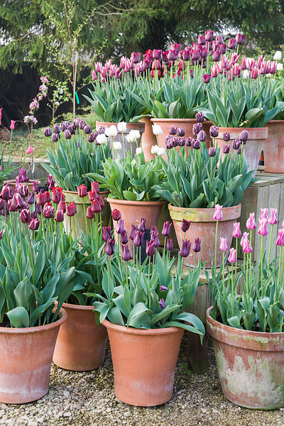 Pots of purple, red, pink and white tulips in the gardeners' yard include Tulipa 'Jackpot', T. 'Ronaldo', white T. 'Mount Tac...