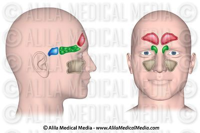 Sinuses of the head, unlabeled.