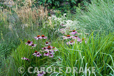 Echinacea purpurea surrounded by grasses Calamagrostis brachytricha, Molinia 'Transparent', Miscanthus 'Morning Light' and St...