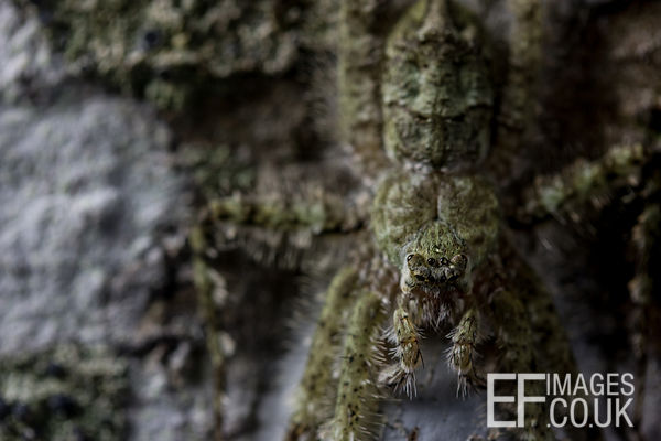 Lichen Spider Camoflaged In The Daintree Rainforest