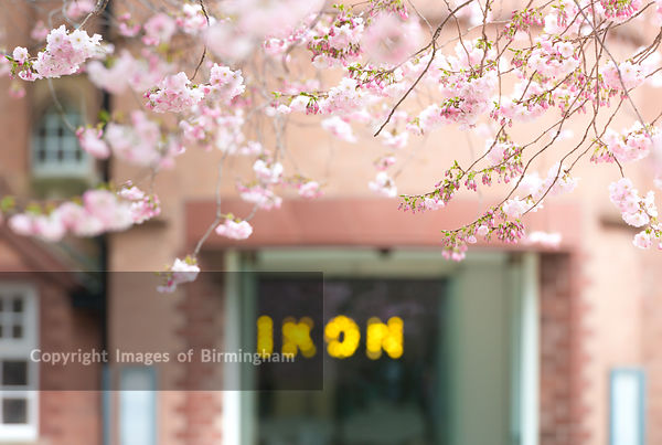 Cherry Blossom on the trees in Oozells Square, Brindleyplace, in front of The Ikon Gallery, Birmingham.
