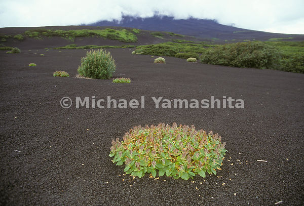 Vegitation grows from the volcanic ash on Iturup, part of the Kuril Islands in Russia.