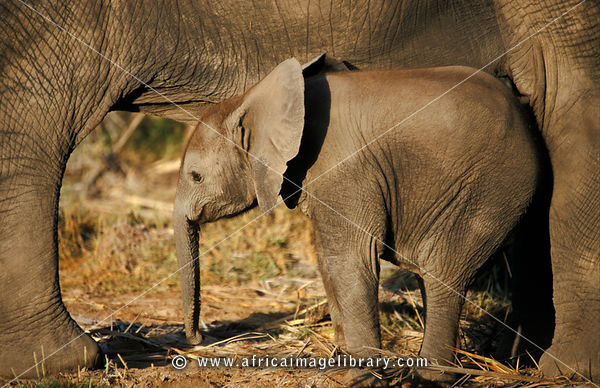 Baby African elephant between its mother's legs, Loxodonta africana africana, Amboseli National Park, Kenya