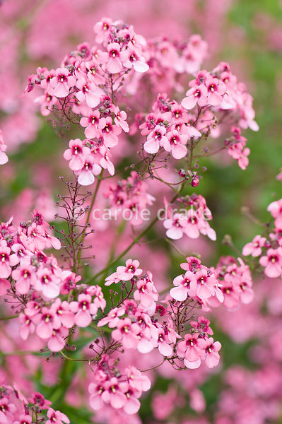 Diascia personata. The Bay Garden, Camolin, Co Wexford, Ireland