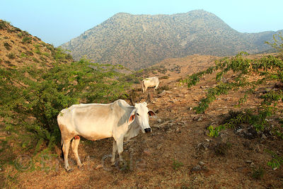 Cows grazing in the mountains above the Bedhnath temple area, Rajasthan, India
