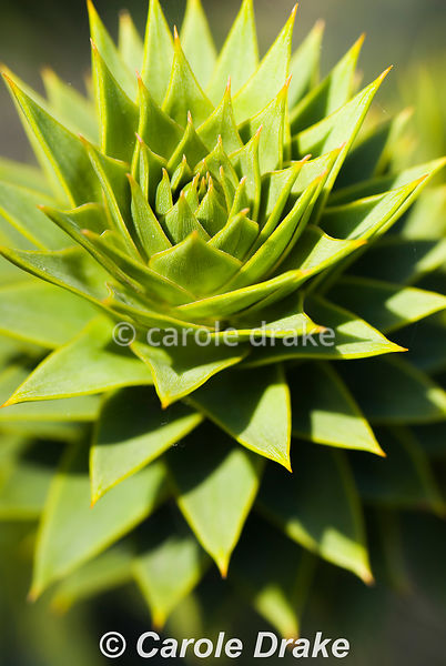 Araucaria araucana. Sir Harold Hillier Gardens/Hampshire County Council, Romsey, Hants, UK