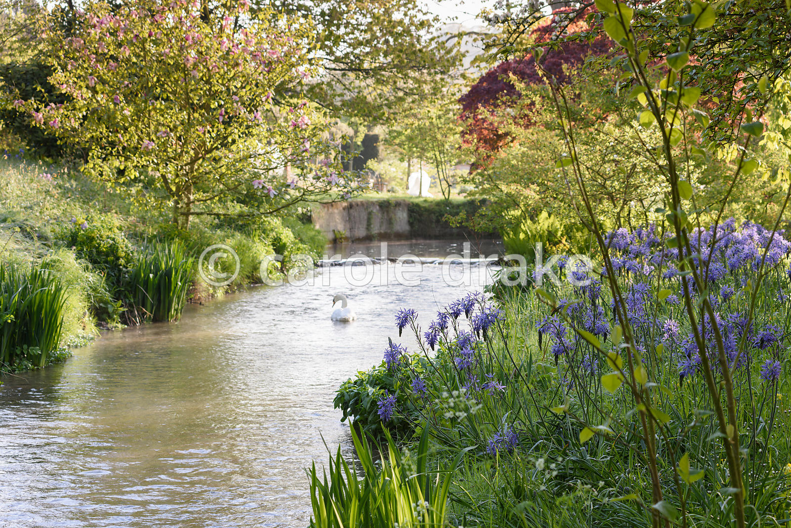 Camassias in long grass beside a tributary of the River Avon at Heale House, Middle Woodford, Wiltshire