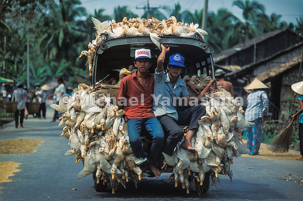A fine-feathered cargo of live ducks heads to market at Can Tho along one of the delta's few hard-top roads.