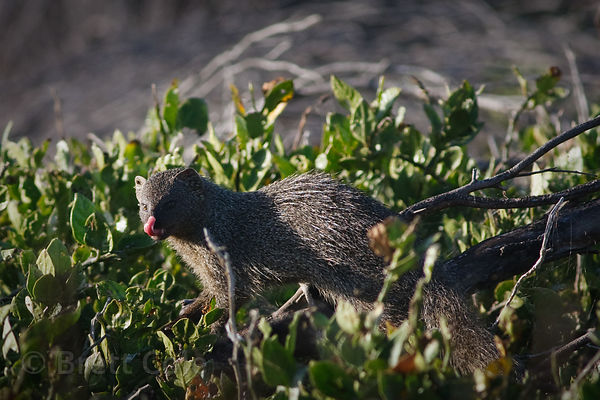 Cape grey mongoose (Galerella pulverulenta), Strandfontein, South Africa