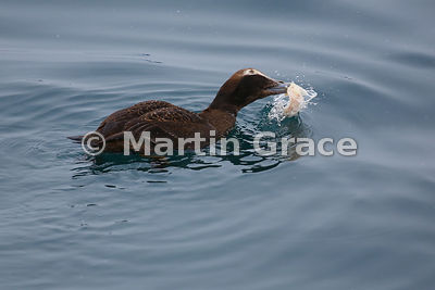 Female Common Eider (Somateria mollissima) eating fish or squid, Husavik, north Iceland