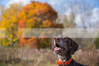 brown pointer dog looking skyward in natural setting