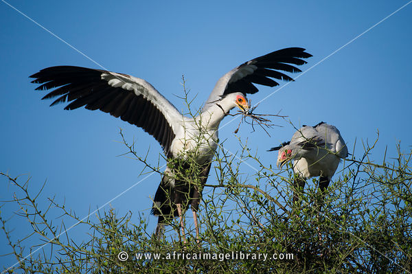 Pair of Secretarybirds making a nest, Sagittarius serpentarius, Serengeti National Park, Tanzania