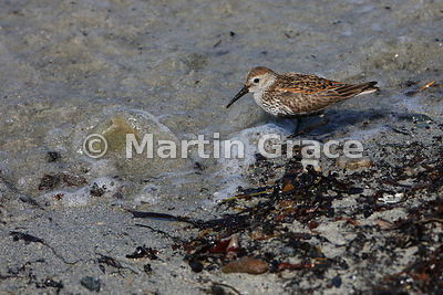 Dunlin (Calidris alpina) feeding on the shoreline at Bigton Wick, Mainland South, Shetland