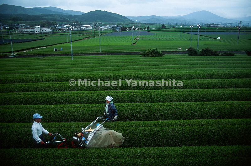 Tea picking by machine/.Chiran, Kagoshima, Japan