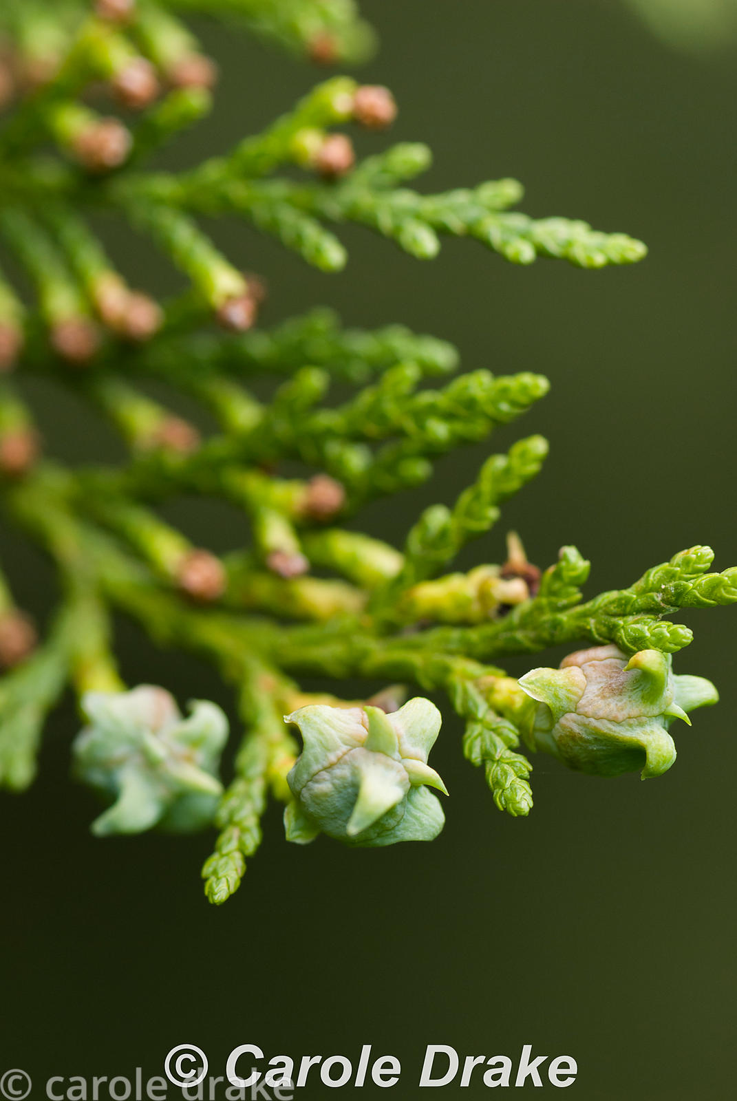 Thuja orientalis. Sir Harold Hillier Gardens/Hampshire County Council, Romsey, Hants, UK