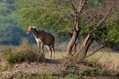 Female nilgai (Boselaphus tragocamelus) antelope, Keoladeo National Park, Bharatpur, India