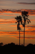 Ilala palm at sunset, Hwange National Park, Zimbabwe