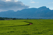 Lujeri tea estate, Mulanje Massif, Malawi