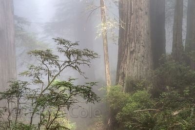 Morning fog and sunrays in ancient redwood forest, Del Norte Coast Redwoods State Park, California