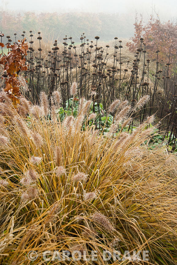 Calamagrostis brachytricha with seedheads of Phlomis russeliana behind. RHS Garden Wisley, Woking, Surrey, UK