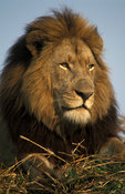 Lion, panthera leo, Kafue National Park, Zambia