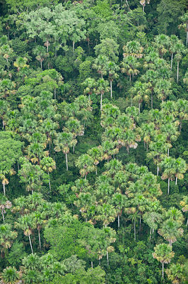 Aerial view of Moriche palms (Mauritia flexuosa) dominant tree species of Blackwater swamps. Yasuni National Park, Amazon Rai...