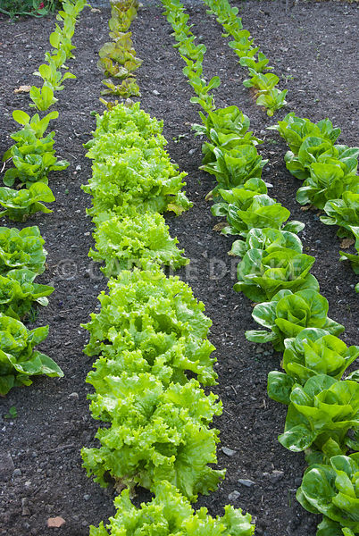 Neat rows of lettuce in the walled kitchen garden. The Cider House, Buckland Abbey, Yelverton, Devon, UK