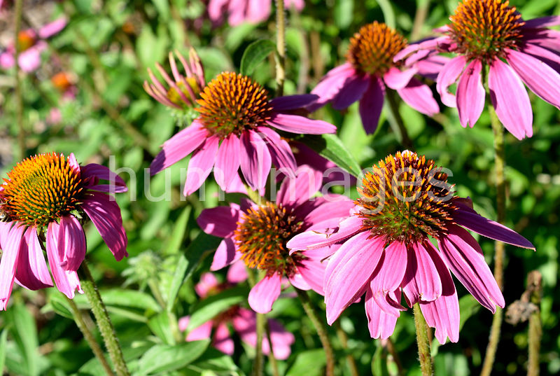 Nature Stock Photos: Coneflowers