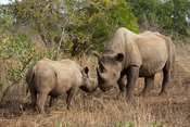 male Black rhinoceros and calf (Diceros bicornis), Phinda Game Reserve, South Africa