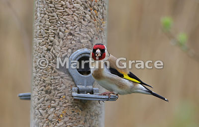 European Goldfinch (Carduelis carduelis) feeding from a nature reserve seed feeder, Foulshaw, Cumbria, England