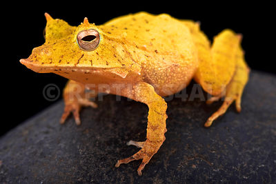 Solomon island leaf frog (Ceratobatrachus guentheri) photos
