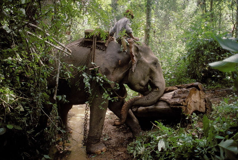 Elephant logging