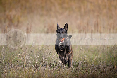 dutch shepherd dog fetching ball in natural setting