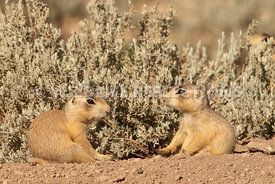 utah_prairie_dog_pups_in_conversation