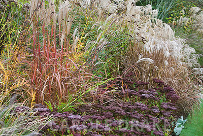 Beds in the Dragon garden include many varieties of miscanthus, other grasses and perennials such as here Sedum matrona and s...