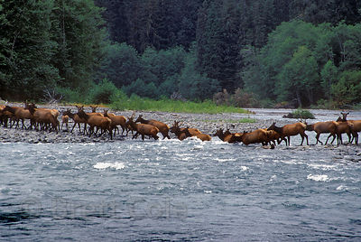 A herd of Roosevelt elk (Cervus canadensis roosevelti) crossing the wild, remote  Queets River in Olympic National Park, Wash...