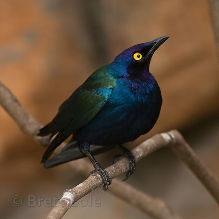Purple Glossy Starling (Lamprotornis purpureus), World of Birds, South Africa