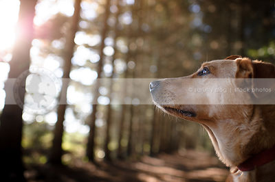 headshot of red hound dog looking skyward with sunflare trees