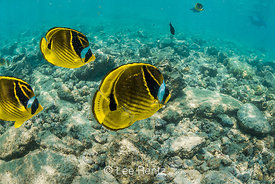 School of Raccoon Butterflyfish along Coral Reef off Big Island of Hawaii