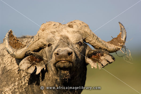 Buffalo (Syncerus caffer), Ishasha sector in Queen Elizabeth National Park, Uganda