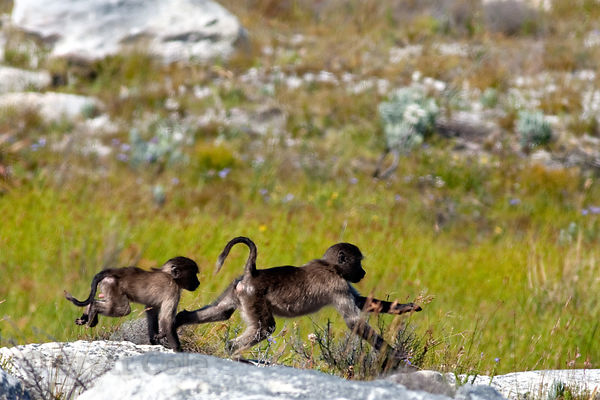 Chacma baboons from the Kanonkop troop playing in Smitswinkel Flats, Cape Peninsula, South Africa