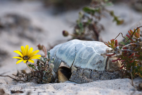 Weathered shell of an angulate tortoise (Chersina angulata) and wildflower (sp.), on Platboom Beach, Cape Peninsula, South Af...