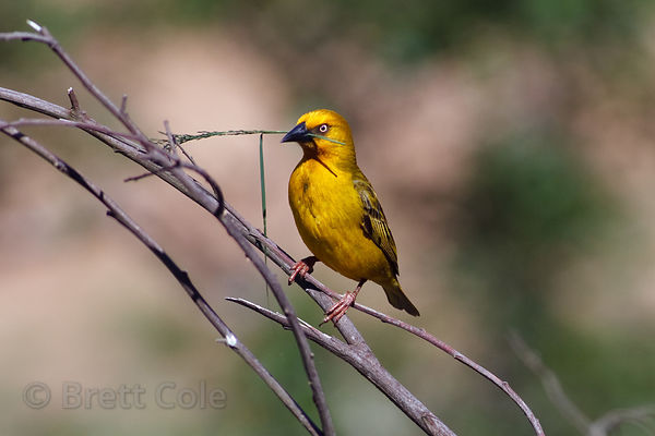 Cape weaver (Ploceus capensis) with grass for its nest, Wildcliff Nature Reserve, South Africa
