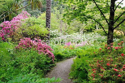 Path between colourful azaleas and ferns leads towards bog planting including candelabra primulas, hostas and striking Melina...