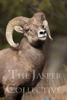 Bighorn_Sheep_MG_6597